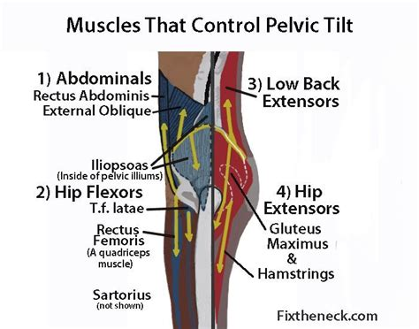 exercises for hip extensors and flexors anatomy of the knee