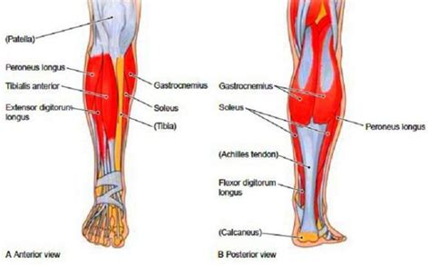 exercises to strengthen the hip muscles labeled masseter origin