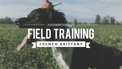 Field Training French Brittany