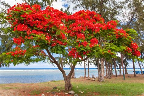 Flamboyant Baum