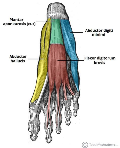 foot flexion muscles
