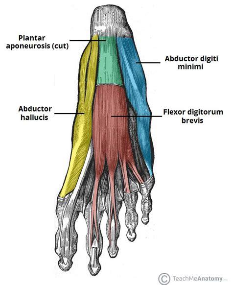 foot flexion muscles plantar foot