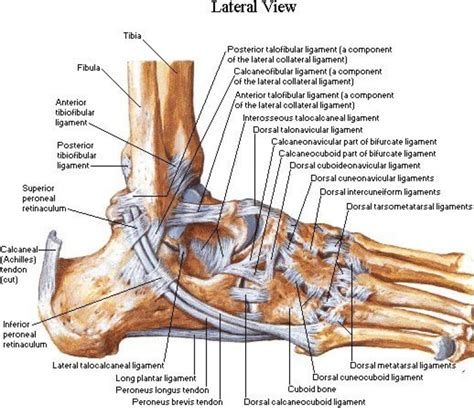 foot tendons and ligaments diagram