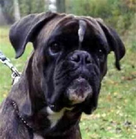 Fully Trained Boxer Dogs For Sale