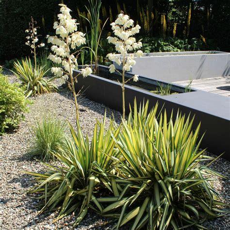 Garten Yucca