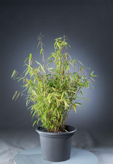 Gartenbambus Günstig Kaufen