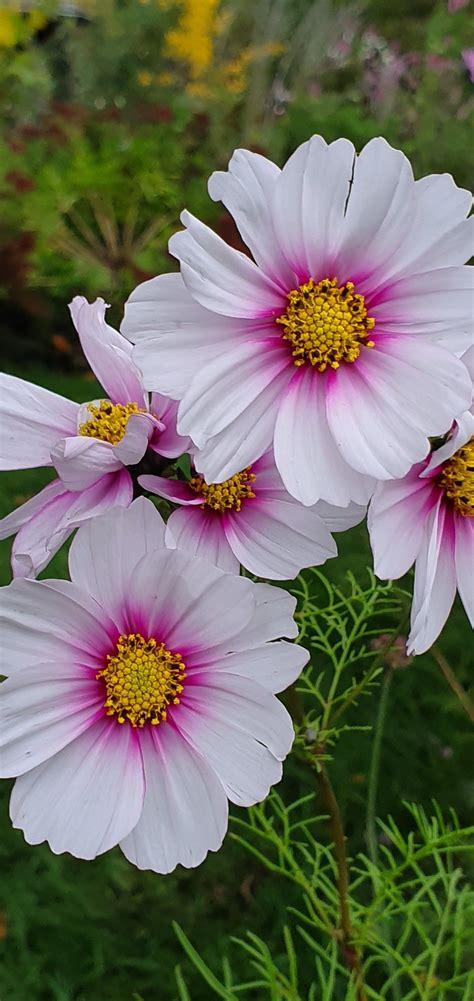 Gartenblumen Cosmea