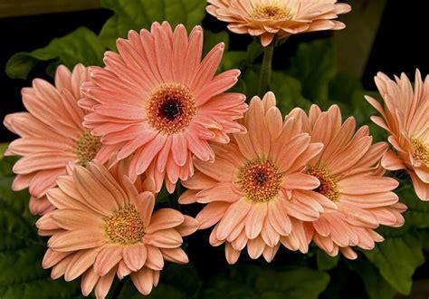Gerbera Blume