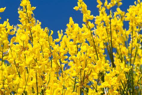 Ginster Blütezeit
