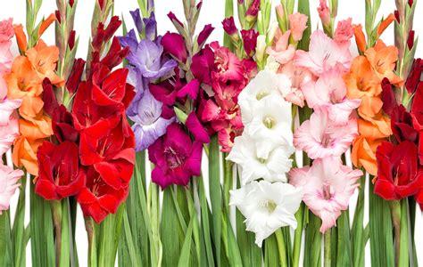 Gladiolen Pflege