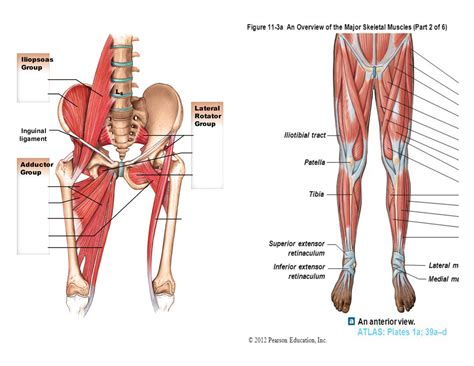 glute and hip flexor anatomy muscles of the human anatomy