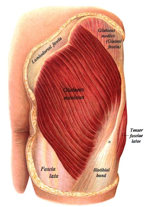 glute and hip flexor anatomy muscles of the human head