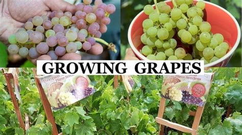 Grow Grapes – The Complete Grape Growing System , Grape Growing.