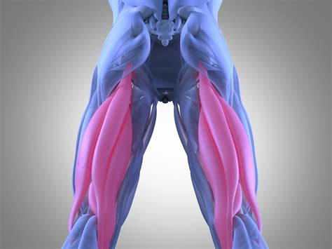 hamstrings anatomy pictures