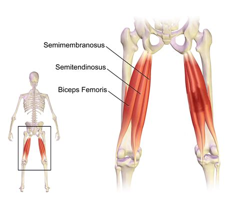 hamstrings location and function