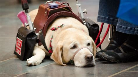 Help Train Therapy Dogs