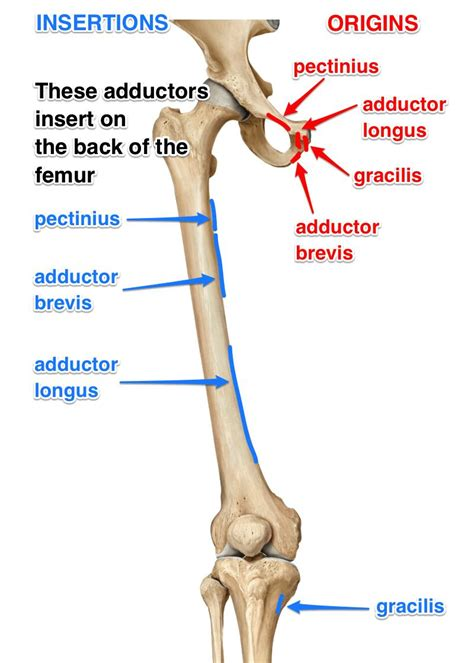 hip adductor muscle origin and insertion