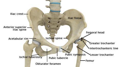 hip diagram