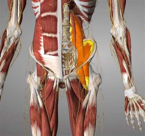 hip flexor complex imagery by lesa