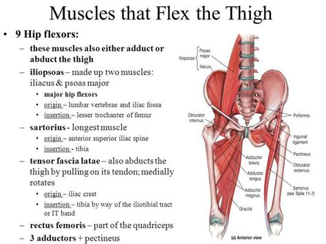 hip flexor complex muscles acsm exercise physiologist
