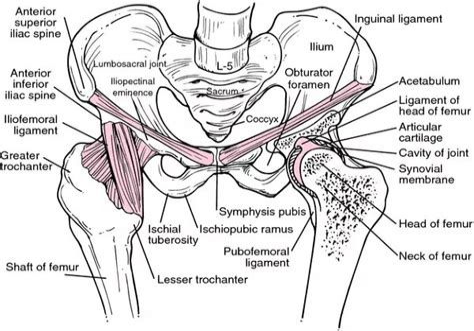 hip flexor diagram anatomy of the male urethra passes