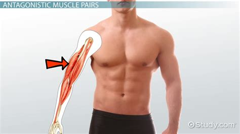 hip flexor muscle definition meaning in tagalog to english