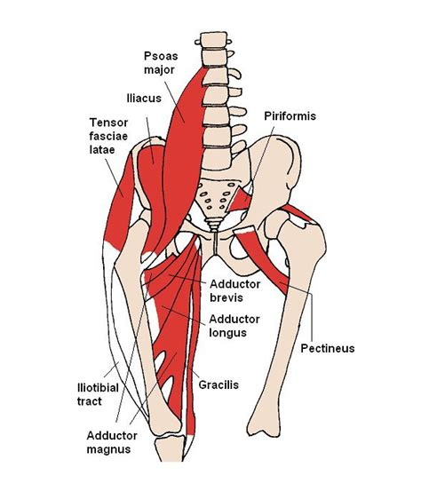 hip flexor muscle definition meaning in tamil