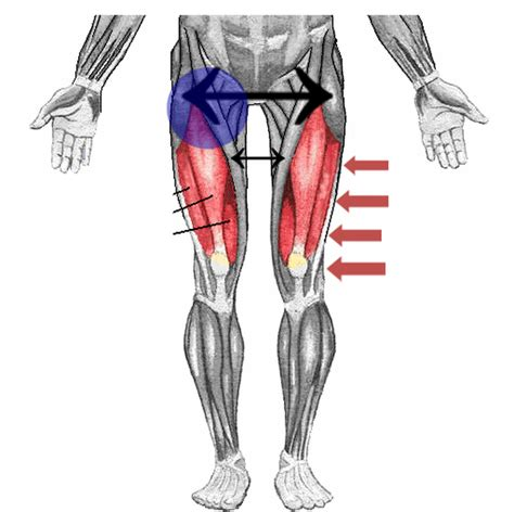 hip flexor muscle images labeled for reuse red