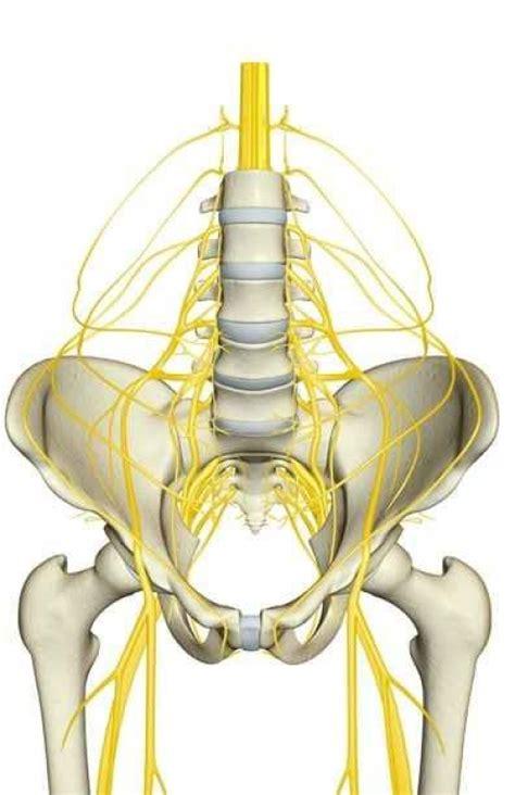 hip flexor nerve innervation chart downloaded games