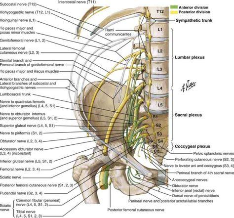 hip flexor nerve innervation chartswap
