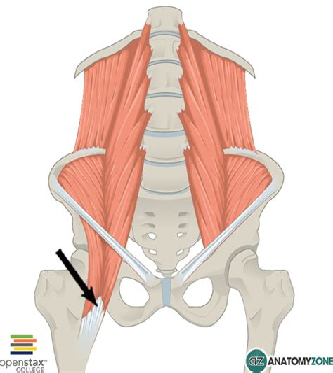 hip flexor psoas release pelvis diagram female reproductive system