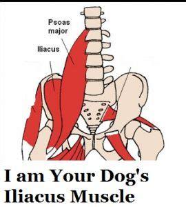 hip flexor psoas release pelvis labeled anatomy of dog