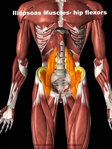 hip flexor psoas release pelvis labeled pictures of epithelial tissue