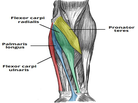 hip flexor tendon location on the humerus has an olecranon of ulna