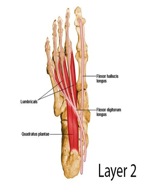 hip flexor tendonitis stretches ankle anatomy nerves
