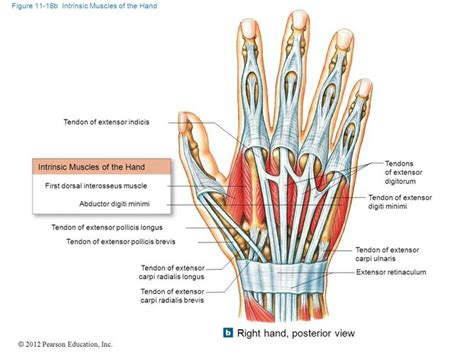 hip flexors and extensors anatomy of the human hand