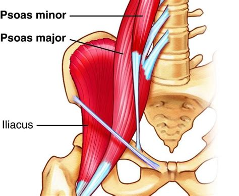 hip ligament to muscle chart diagram on internet