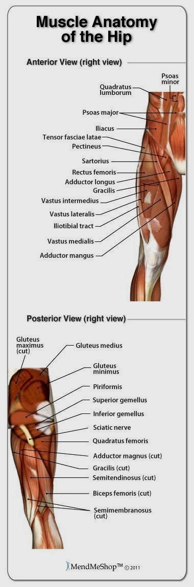 hip ligament to muscle chart of the human body