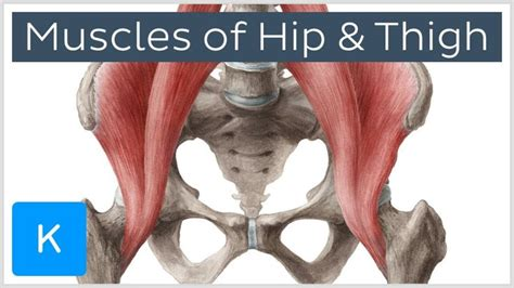 hip ligament to muscle chart of the human spine