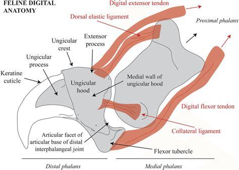 hip ligaments diagram anatomy feline