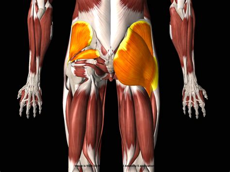 hip muscles pictures