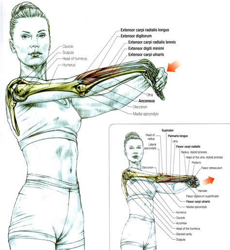 how to stretch hip flexors and extensors muscles of forearm anatomy
