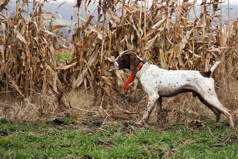 How To Train A Hunting Dog To Point