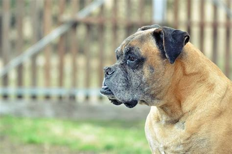 How To Train Boxer To Be Guard Dog