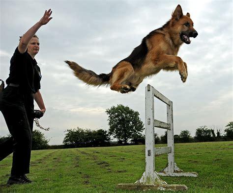 How To Train German Shepherd Police Dog