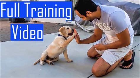 How To Train Your Labrador Puppy In Hindi
