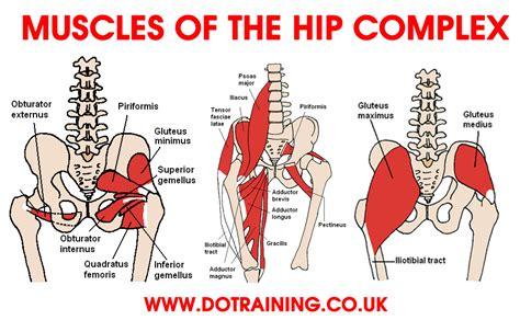 human hip muscle chart back