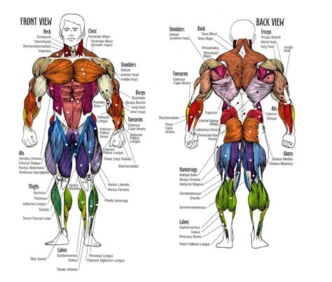 human hip muscle chart diagram for nh3 production