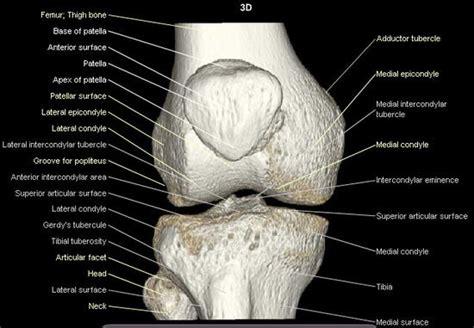 knee anatomy bone