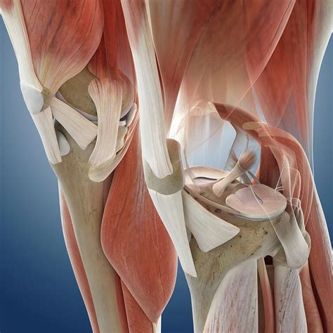 knee anatomy pictures